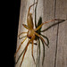 unidentified spider, green canoe trail, bluff lake shelter, okefenokee national wildlife refuge, charlton county, georgia 1