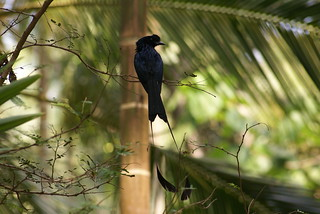 Greater Racket-tailed Drongo | by Nimesh M