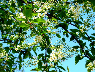 Chokecherry blossoms | by Andrea_44