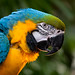 Art the Macaw