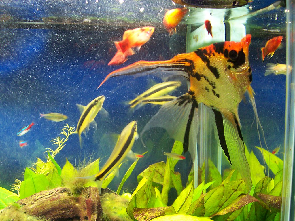 My angel fish in my 55 gallon freshwater aquarium www the for Big freshwater aquarium fish