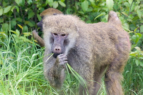 Baboon | by GregRob