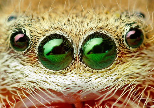 Anterior Median and Anterior Lateral Eyes (Phidippus pius?) | by Thomas Shahan