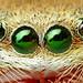 Anterior Median and Anterior Lateral Eyes (Phidippus pius?)