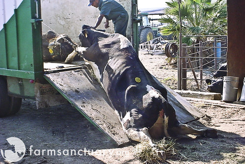 Downed cow dragged to slaughter | by Farm Sanctuary