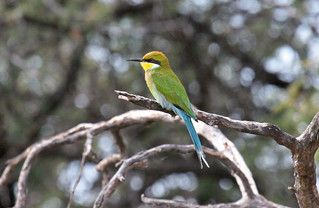 Swallow-tailed Bee-eater | by Mike Richardson and Sarah Winch