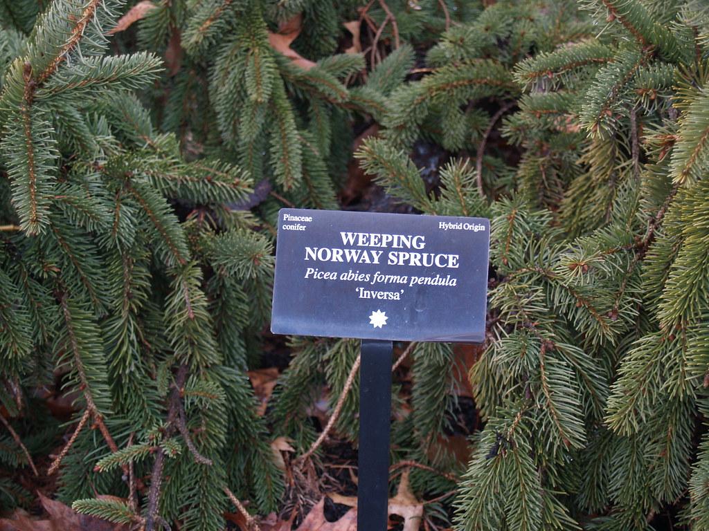 Weeping Norway Spruce Picea Abies Pendula In Hershey Gar Flickr