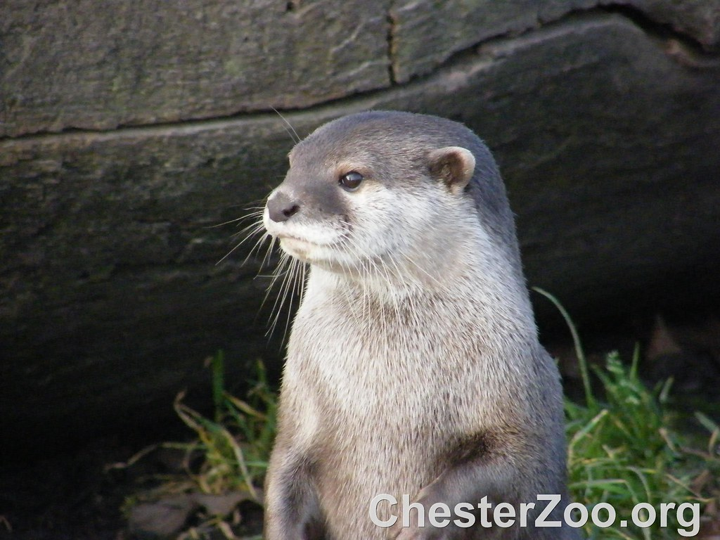 hindu single men in otter Otters are carnivorous mammals in the subfamily lutrinaethe 13 extant otter species are all semiaquatic, aquatic or marine, with diets based on fish and invertebrateslutrinae is a branch of the weasel family mustelidae, which also includes badgers, honey badgers, martens, minks, polecats, and wolverines.
