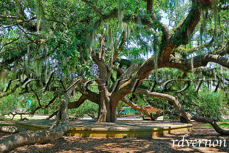 Spreading Live Oak Tree Hammond Louisiana Located on the Flickr
