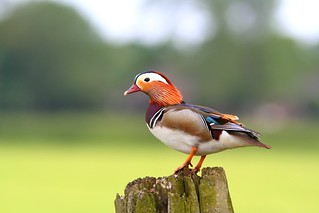 Mandarin in the meadows | by tijmenkroes