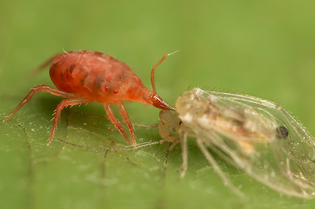 report on a new predatory mite