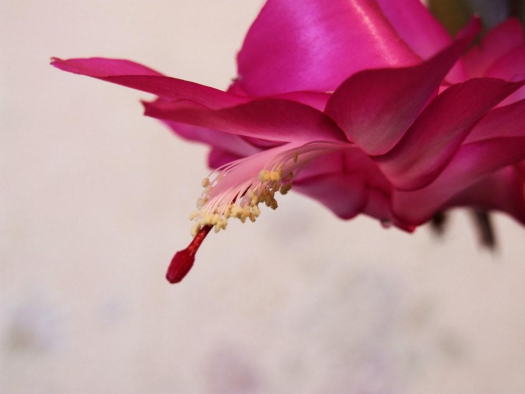 cactus de noël   nom commun : cactus de noël nom latin : zyg…   flickr