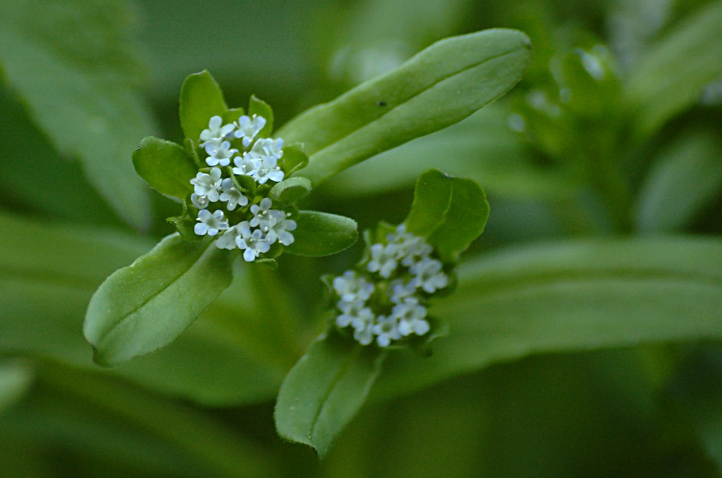 Valerianella locusta - Veldsla | Flickr - Photo Sharing!