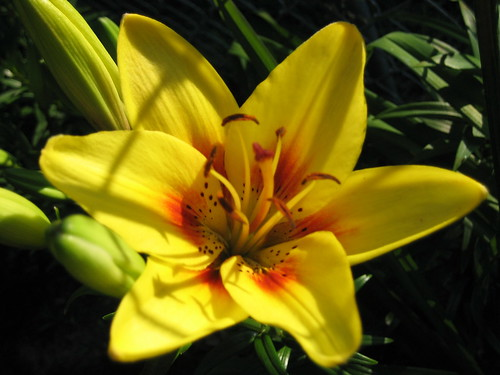 Yellow Asiatic Lily | by pelennor