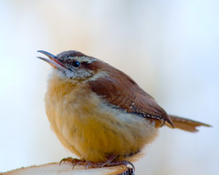 Carolina Wren | by Geek in the garden
