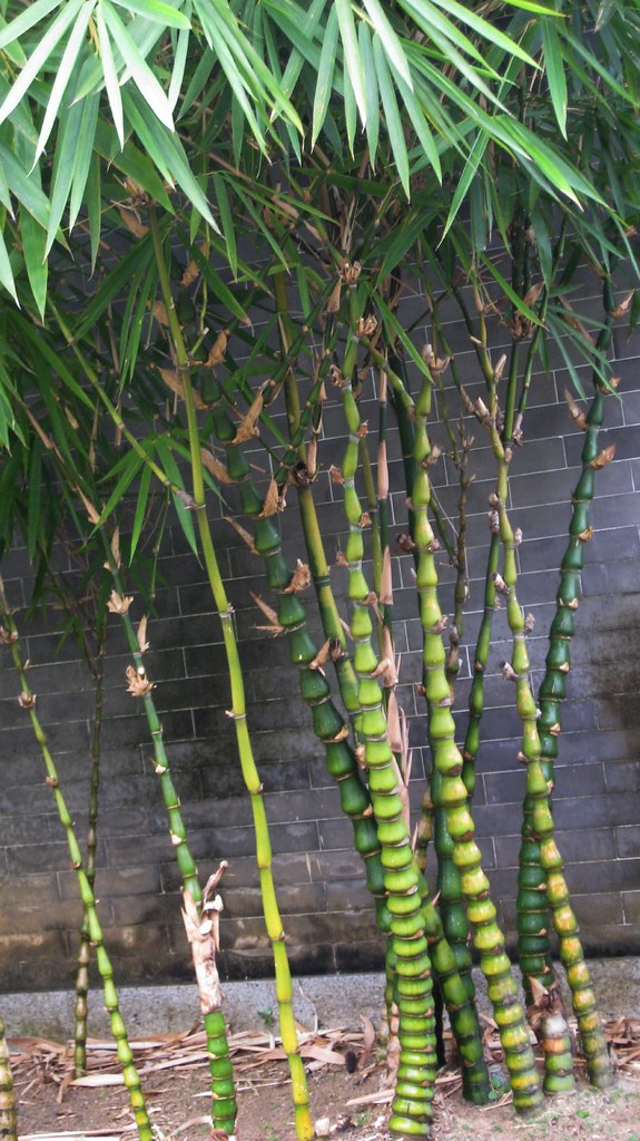 Landscaping With Dwarf Bamboo : Bambusa ventricosa mcclure buddha s belly bamboo flickr