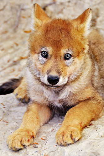 Cute wolf pup | by Tambako the Jaguar