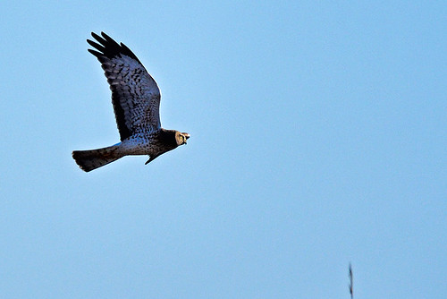 Jones Beach: Northern Harrier 2