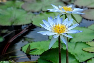 Water Lily - | by HGHjim
