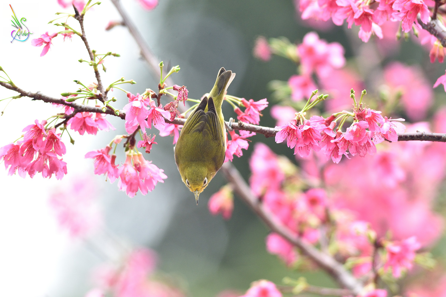 Sakura_White-eye_5983