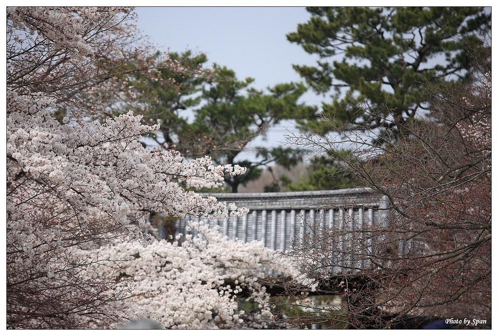 京都のお花見おすすめスポット 醍醐寺