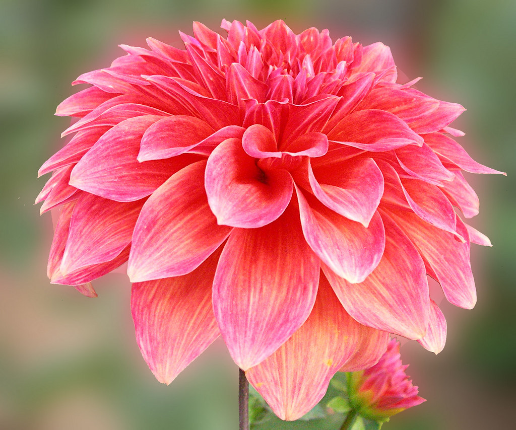 Beautiful Dahlia Information About Dahlia Flowers If Ev Flickr