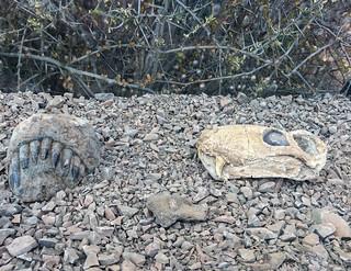 Fossile Gorgon-Kopffragmente