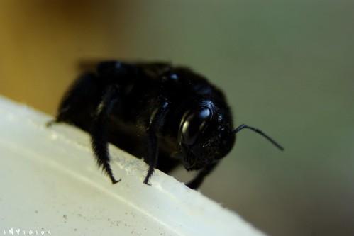 Black Bumble Bee >> Black BumbleBee 2 | Another Macro Shot of an Hawaii Black ...