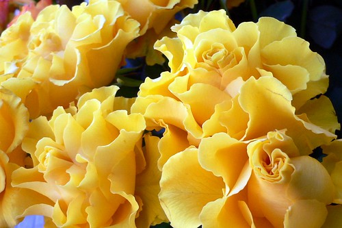 Yellow Roses Special | by Luigi Strano