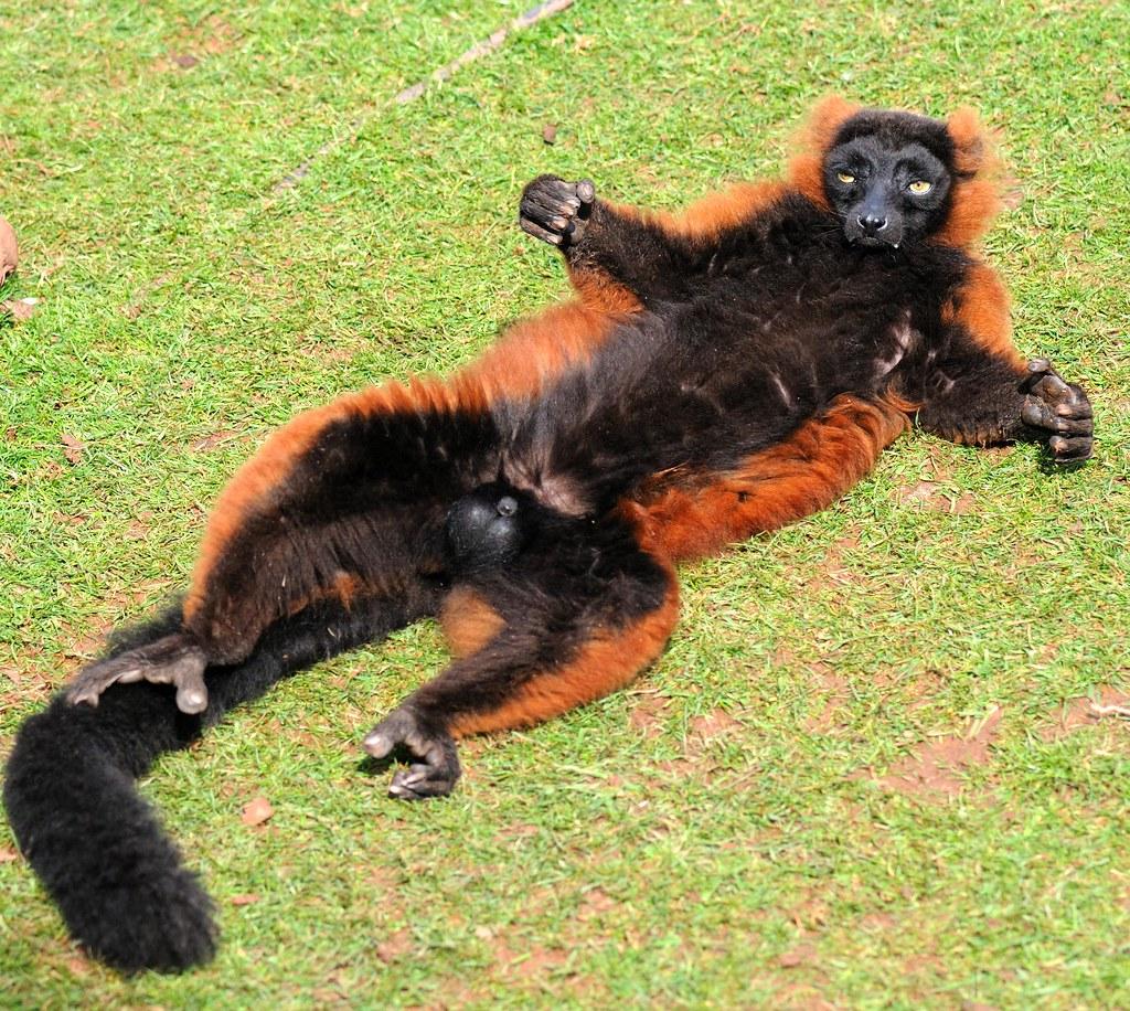 Red ruffed lemur sunbathing r and b flickr