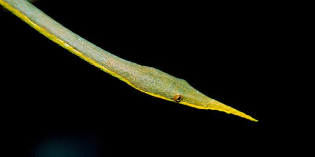 Мадагаскарская листоносая змея (Langaha madagascariensis), фото фотография пресмыкающиеся