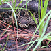 Juvenile Eastern diamondback
