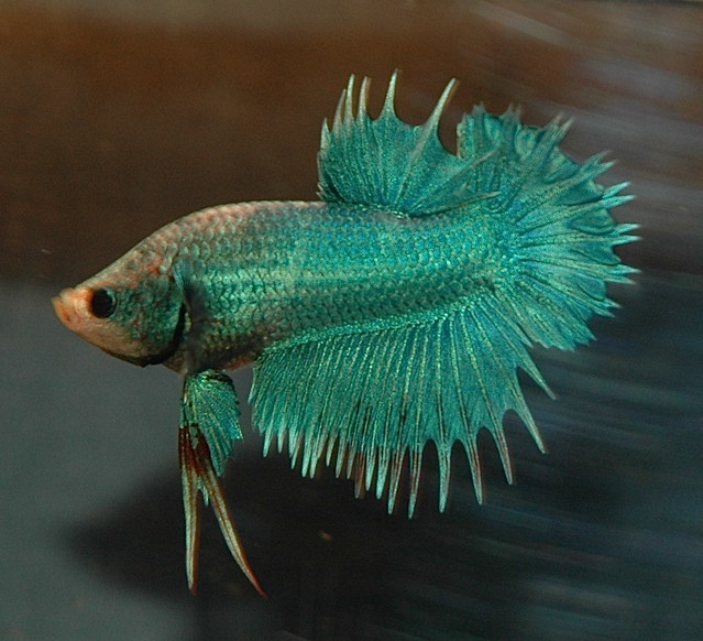 Ctpk multi m betta online daniella vereeken flickr for Crown betta fish