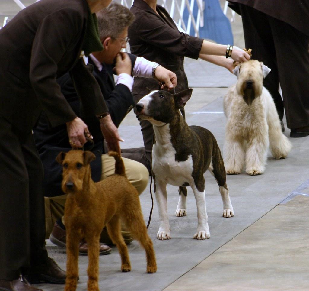 Irish Colored Bull Soft Coated Wheaten Terriers Hobbs