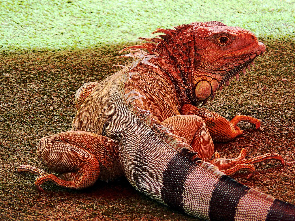 Orange Iguana | If there's such a thing as a pink panther ...