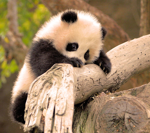 Little Zhen Zhen is a very determined little panda climber! | by kjdrill