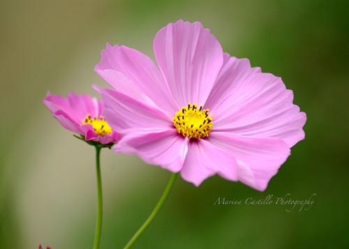 Pink Cosmo Flowers Marina Castillo Flickr