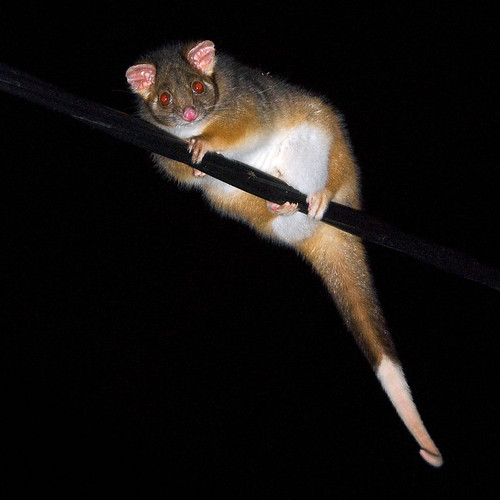 Ring-tail possum | by alison lyons photography