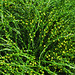 psilotum nudum, atlanta botanical garden, altanta, fulton county, georgia 1