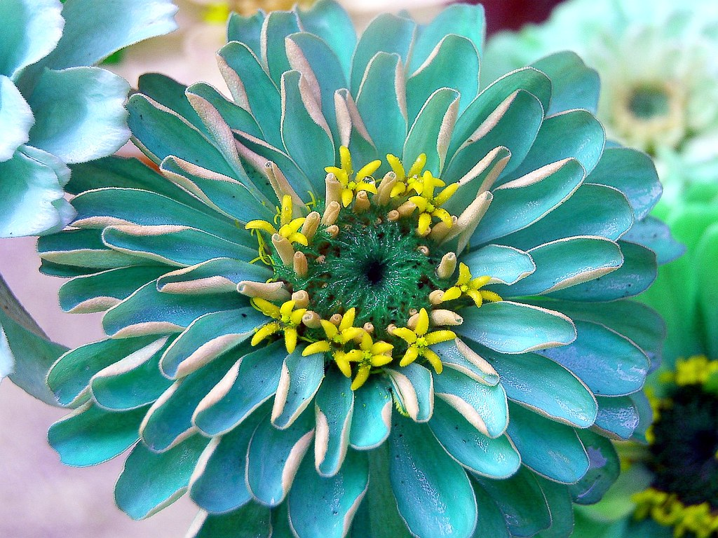 Pretty Blue Zinnia With Yellow Tiny Center Flowersr Flickr
