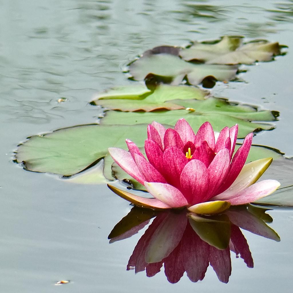 Flores acuáticas. Jardín Botánico de Tenerife.# Flors aquà ...