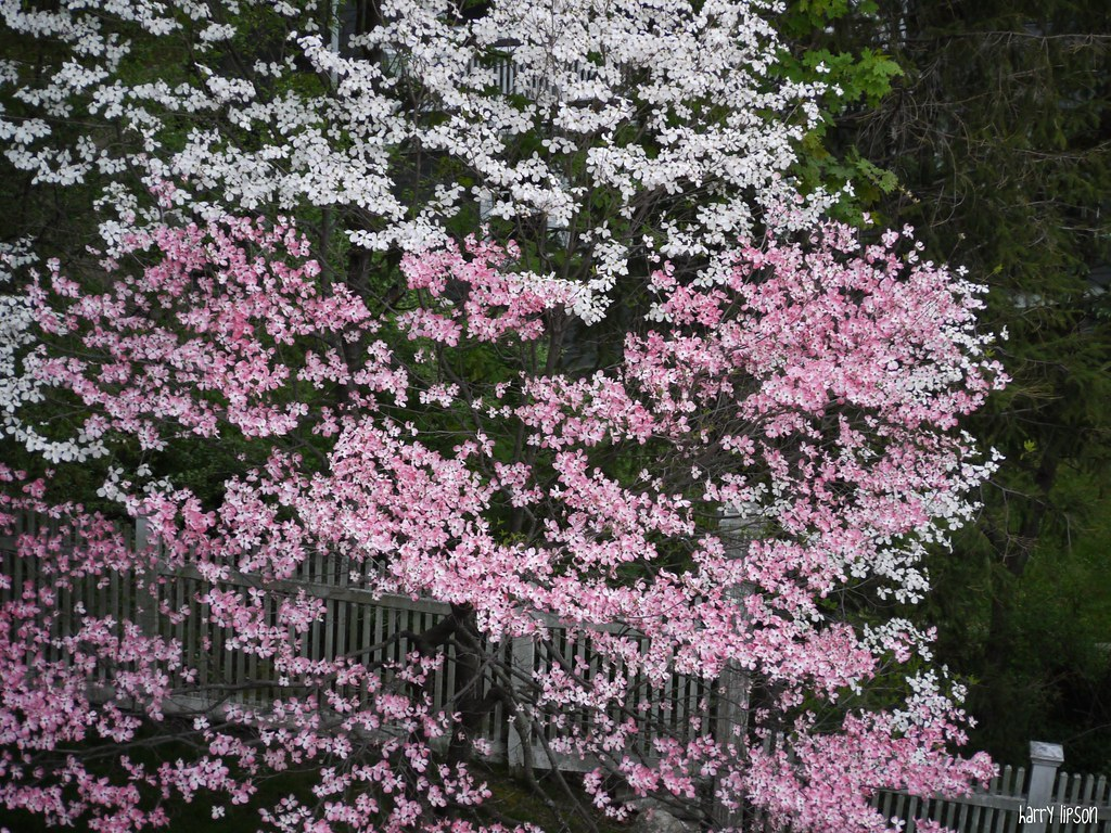 Pink And White Flowering Dogwood Dual Colored Dogwood Was Flickr