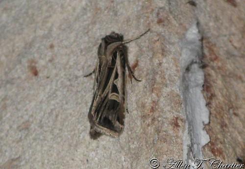 Feltia jaculifera (Dingy Cutworm)