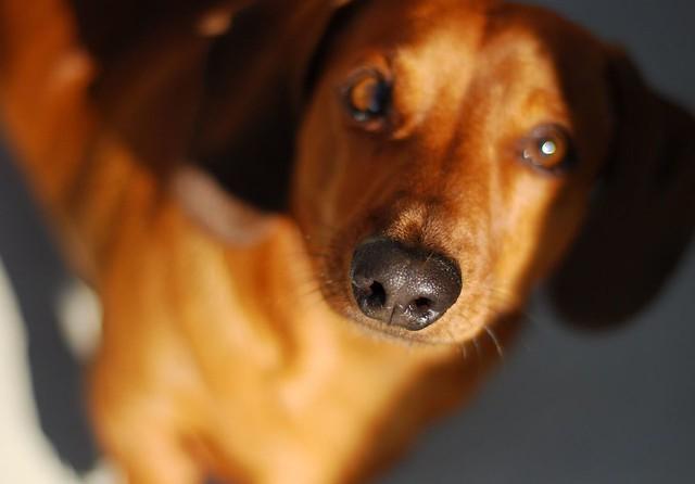 Weiner Dogs For Sale Wichita Ks