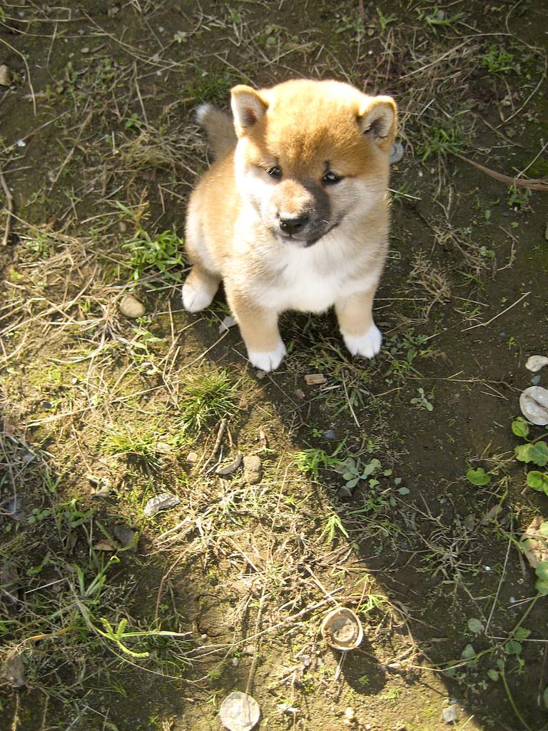 Baby Shiba Inu 柴犬 The Shiba Inu 柴犬 Shiba Inu Or Shiba