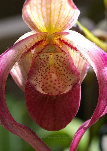 Lady Slipper Minnesota State Flower Como Conservatory