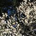 Ume flowers / Prunus mume / 梅(うめ)