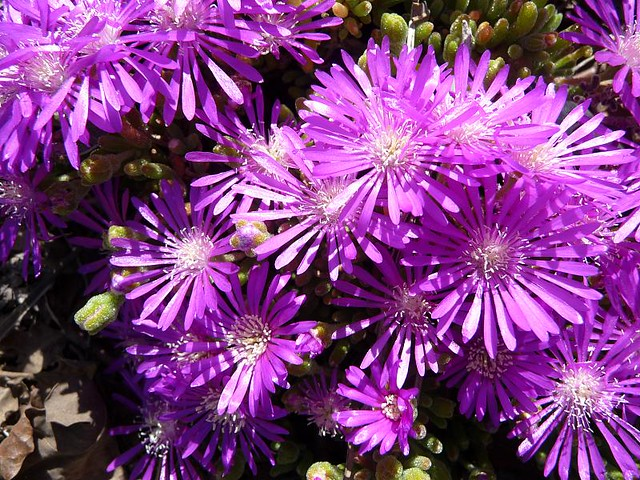 Purple Ground Cover Ice Plant The Clearlake Barbershop