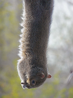 ~Gymnastic squirrel hanging upside down by his feet from a seed block | by ~Sage~