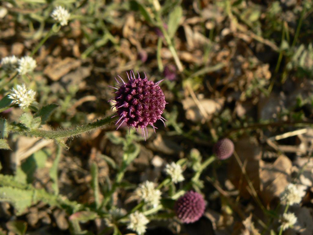 Mundi Sanskrit Asteraceae Aster Daisy Or Sunf